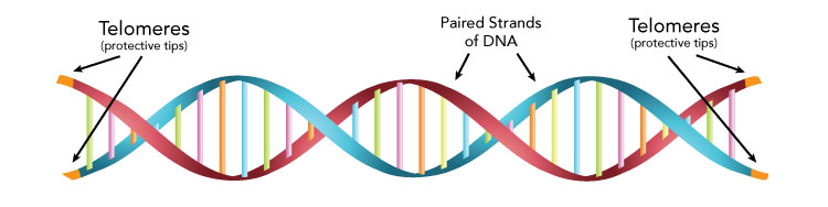 Image showing where Telomeres are located on a DNA strand