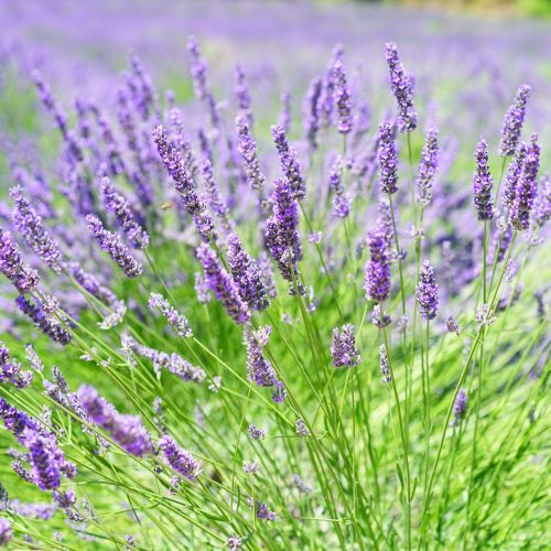Lavender-Growing-on-Field-