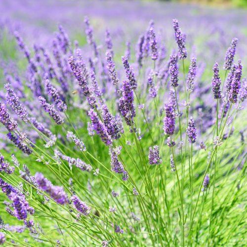 Lavender-Growing-on-Field-